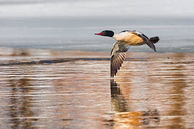 Drake Photograph - Common Merganser In Flight by Bill Wakeley