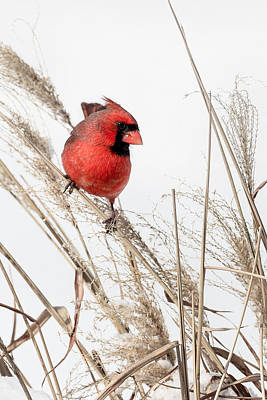 Common Northern Cardinal Print by Bill Wakeley