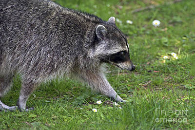 Raccoon Photograph - Common Raccoon by Sharon Talson