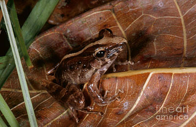 Frogs Photograph - Common Rain Frog by Gregory G. Dimijian, M.D.