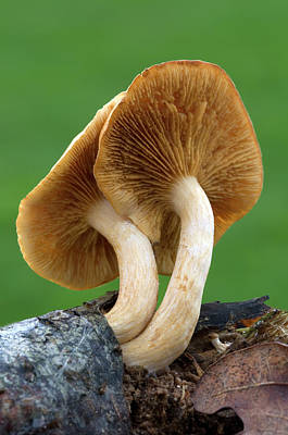 Freckles Photograph - Common Rustgill Fungus by Nigel Downer