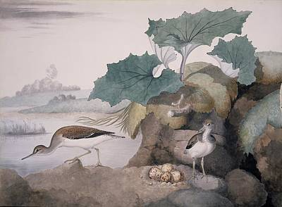 Sandpiper Photograph - Common Sandpipers, 19th Century Artwork by Science Photo Library