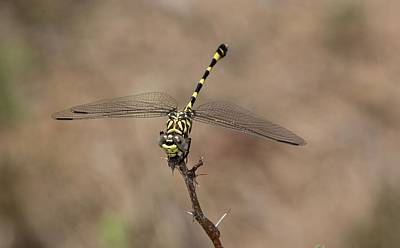 Common Tigertail Dragonfly Print by Bob Gibbons