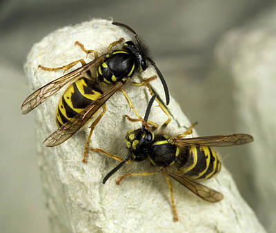 Wasp Photograph - Common Wasps by Nigel Downer