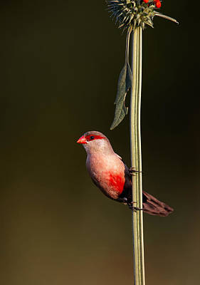 Perched Photograph - Common Waxbill by Johan Swanepoel