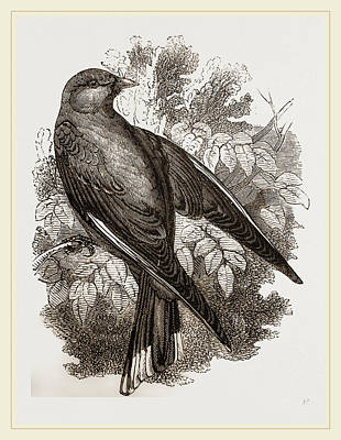Swallow Drawing - Common Wood-swallow by Litz Collection