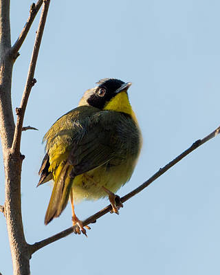 Warbler Photograph - Common Yellowthroat Warbler by Bill Wakeley