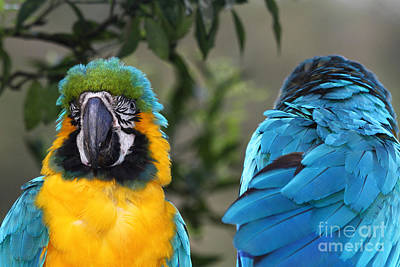 Macaw Photograph - Communication Breakdown by James Brunker