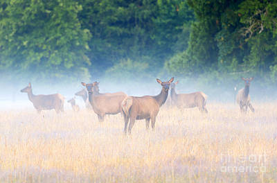 Elk Photograph - Concealed By The Fog by Mike Dawson