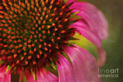 Abstracted Coneflowers Photograph - Coneflower by Darren Fisher