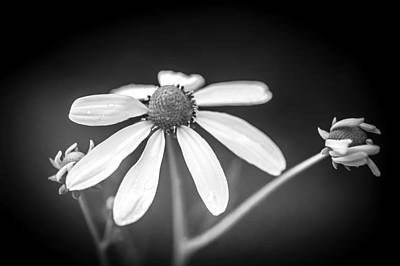 Coneflowers Echinacea Yellow Painted Bw   Print by Rich Franco