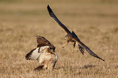 Northern Harrier Photograph - Confrontation by Angie Vogel