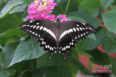 Wild Photograph - Constantines Swallowtail by Judy Whitton