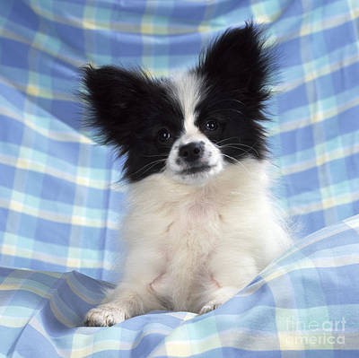 Continetal Toy Spaniel Or Papillon Dog Print by John Daniels