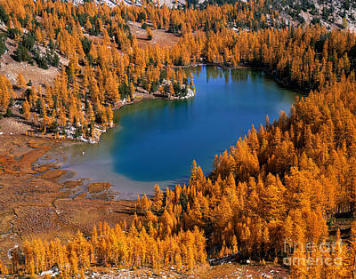 Cooney Lake Surrounded By Larch Trees Print by Tracy Knauer