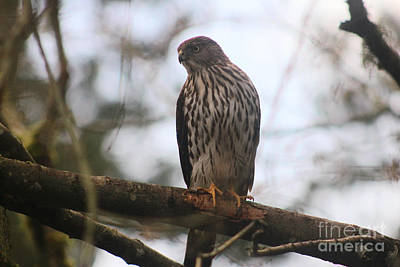 Cooper's  Hawk Dines Here Print by Kym Backland