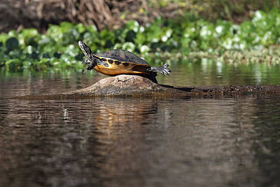 Cooter On Alligator Log Print by Paul Rebmann