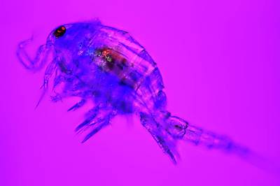 Planktonic Photograph - Copepod Crustacean by Frank Fox