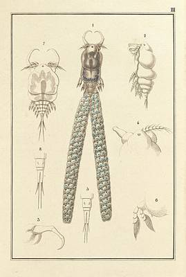 Copepod Print by King's College London