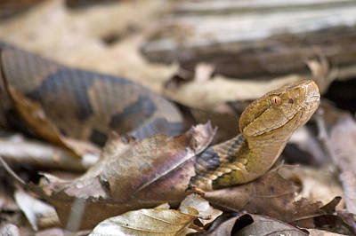 Copperhead In The Wild Print by Betsy C Knapp