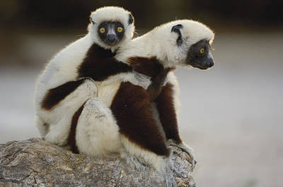 Coquerels Sifaka And Baby  Madagascar Print by Pete Oxford
