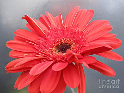 Addie Hocynec Art Photograph - Coral Gerber Daisy by Addie Hocynec