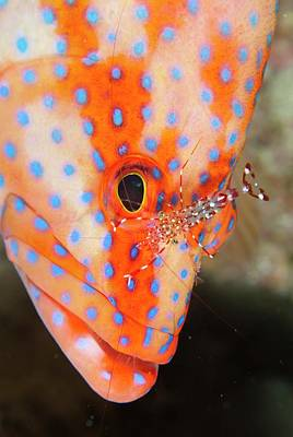 Coral Gouper With Cleaner Shrimp Print by Scubazoo