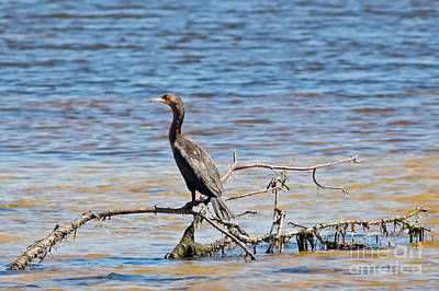 Cormorant In The Lagoon Print by Natural Focal Point Photography