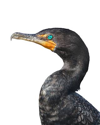 Cormorant Print by Rudy Umans
