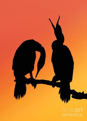 Cormorants Print by Novastock