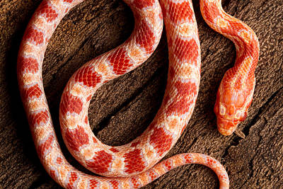Corn Snake P. Guttatus On Tree Bark Print by David Kenny