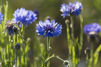 Close Focus Nature Scene Photograph - Cornflowers _centaurea Cyanus__ Upper by Carl Bruemmer
