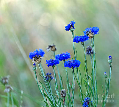Cornflowers Print by Louise Heusinkveld