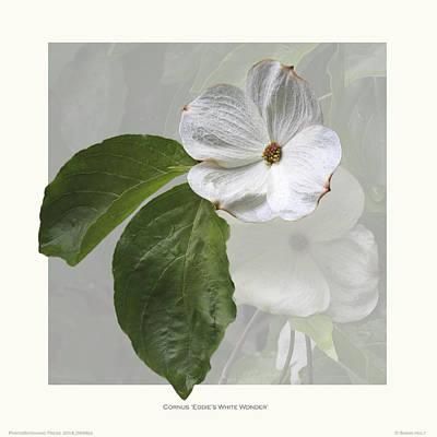 Cornus 'eddie's White Wonder' Print by Saxon Holt