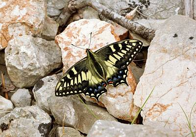 Corsican Swallowtail Butterfly Print by Bob Gibbons
