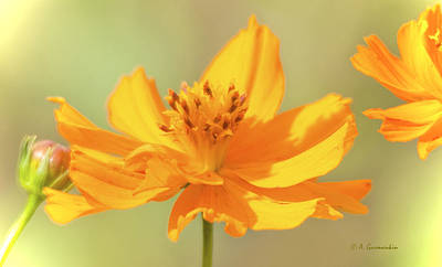 Print featuring the photograph Cosmos Flowers by A Gurmankin