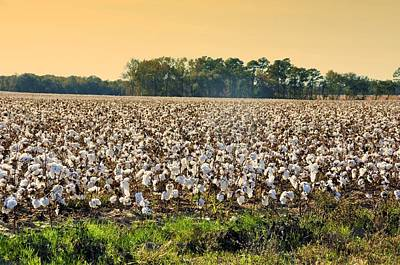 Cotton Fields Back Home Print by Jan Amiss Photography