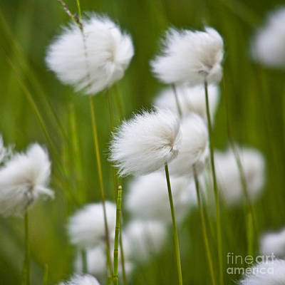 Heiko Photograph - Cottonsedge by Heiko Koehrer-Wagner
