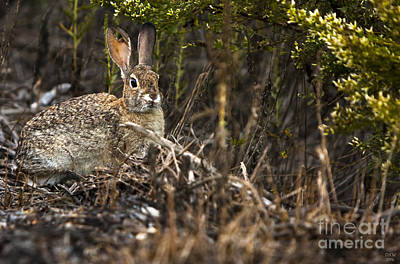 Rabbit Photograph - Cottontail Rabbit Ears Up  by David Millenheft