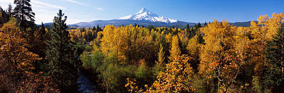 Cottonwood Trees In A Forest, Mt Hood Print by Panoramic Images