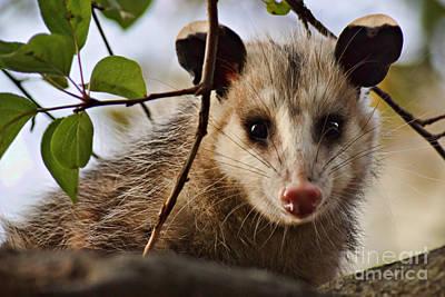 Possum Photograph - Coucou - Close-up by Nikolyn McDonald