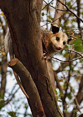 Possum Photograph - Coucou by Nikolyn McDonald