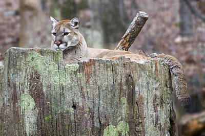 Cougar On A Stump Print by Chris Flees