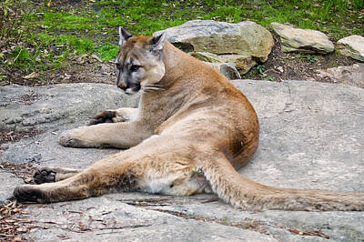 Cougar Restin On A Rock Print by Chris Flees