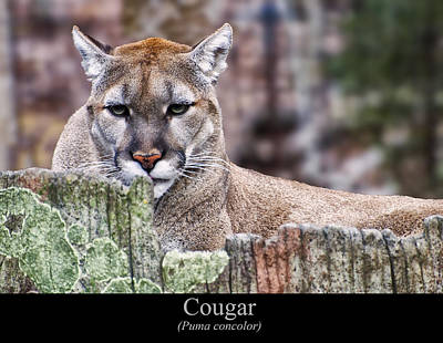 Cougar Resting On A Tree Stump Print by Chris Flees