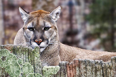 Cougars Stare Close Up Print by Chris Flees