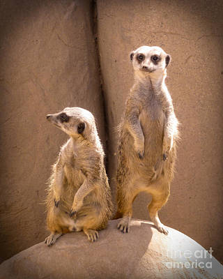 Meerkat Digital Art - Couple Of Meerkats by Methune Hively