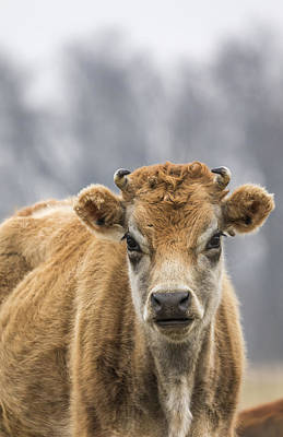 Jersey Cow Photograph - Cow 1 by Thomas Young