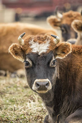 Jersey Cow Photograph - Cow 2 by Thomas Young