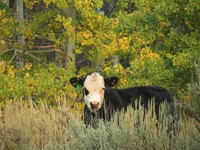 Cow #904 In Aspen Grove Print by Feva  Fotos